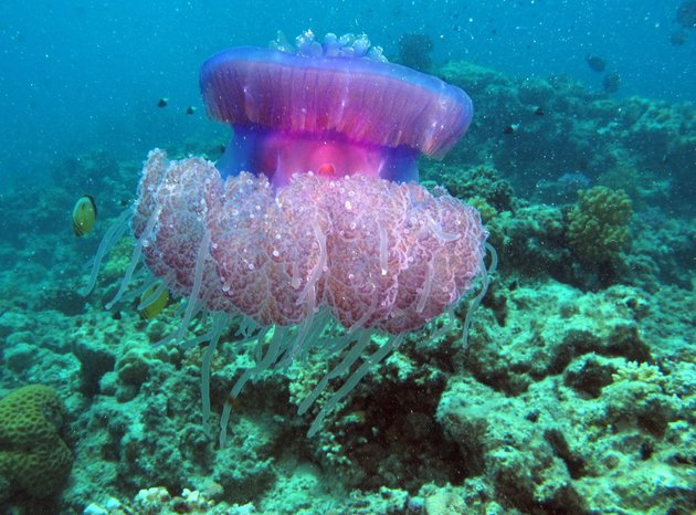 Jellyfish in corals