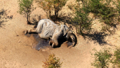 Mass death of elephants in South Africa caused by unknown pathogen