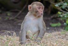 Monkeys transplant pig liver