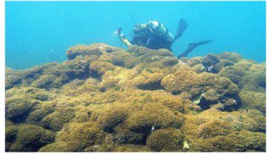 Mysterious new invasive algae strangle Hawaiis coral reefs