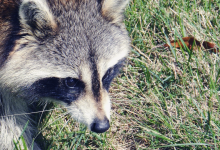 Nobel laureate meets a talking raccoon