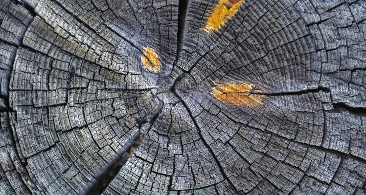 Tree rings show a climatic anomaly that began in the 20th century
