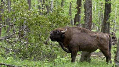 Photo of Wild bison will appear in the UK in 2022