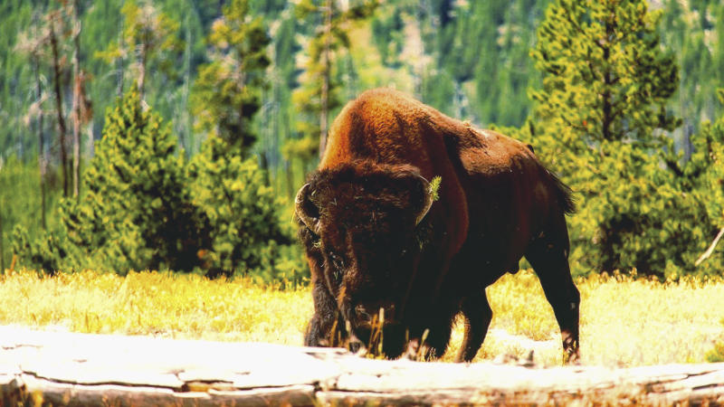 Yellowstone incident bison crippled an elderly woman