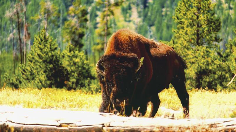 Yellowstone incident bison crippled an elderly woman