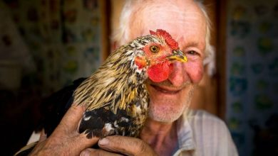 Chicken and human DNA are 70 similar