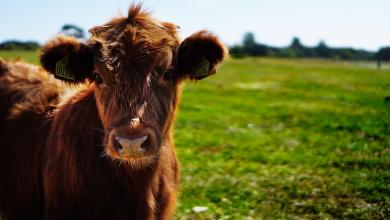 In the United States found the corpse of a cow with excised genitals