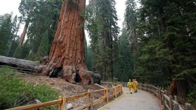 Relic giant trees may appear in Western Europe