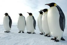 Scientists discover 11 previously unknown emperor penguin colonies in Antarctica
