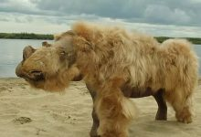 Woolly rhino DNA points to animals extinction