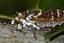 Zombie cicadas appeared in the US