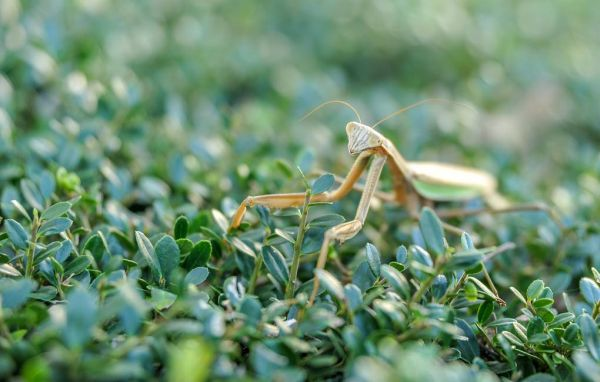 An alien mantis found on the Black Sea coast of the Caucasus