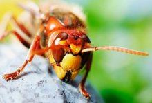 Deadly tropical hornets kill man in Spain
