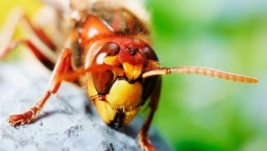 Deadly tropical hornets kill man in Spain