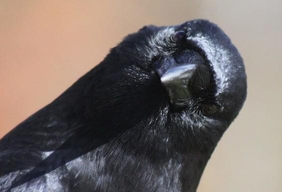 The ravens found consciousness