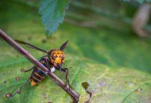 Americas first killer hornet nest found in Washington state