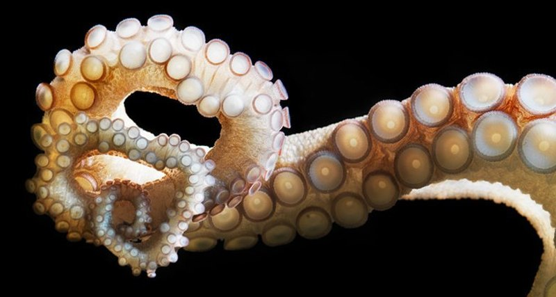 Octopuses can taste with tentacles