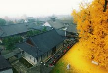 1 400 year old tree in China becomes golden