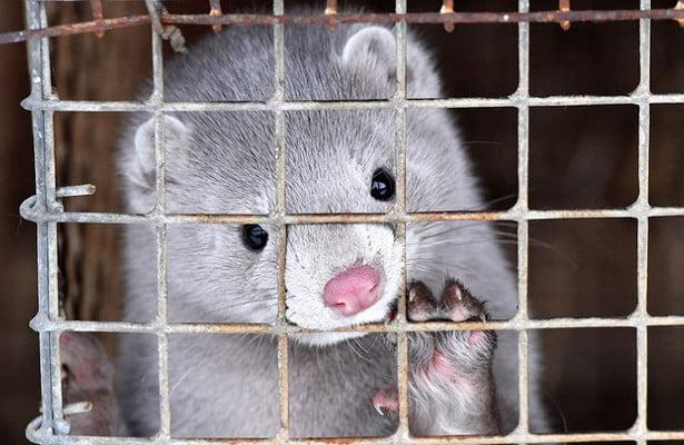 Denmark to kill all minks to fight coronavirus