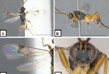 Microgaster godzilla novataxa 2020 Fernandez Trian