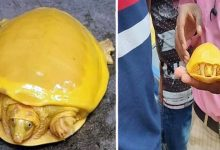 Yellow turtles have been found in Nepal and India why would that be