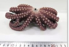 Rare nine legged octopus found off the coast of Japan