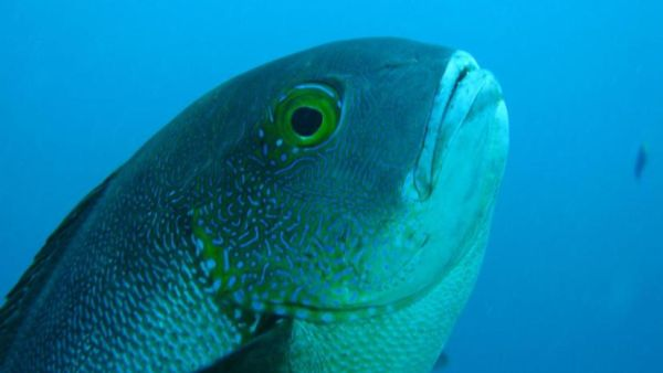 The oldest reef fish found off the coast of Australia