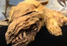 Well preserved mummy of a wolf cub was found in Canada