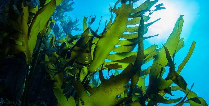 Algae found in the Sea of Japan to fight coronavirus