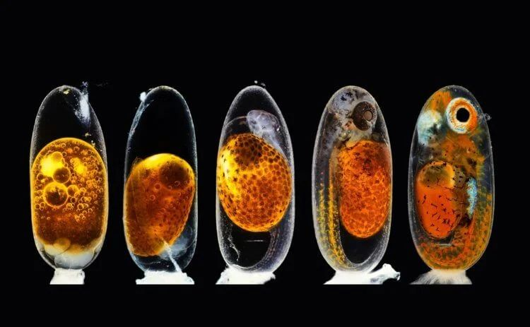 Clown fish embryo