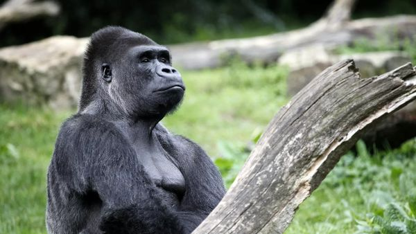 Gorillas first diagnosed with coronavirus