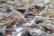 Hundreds of dead birds fall from the sky in Sri Lanka