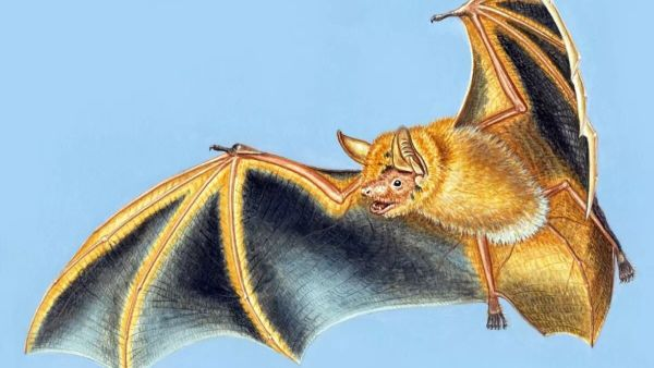 New species of orange bat discovered in West Africa