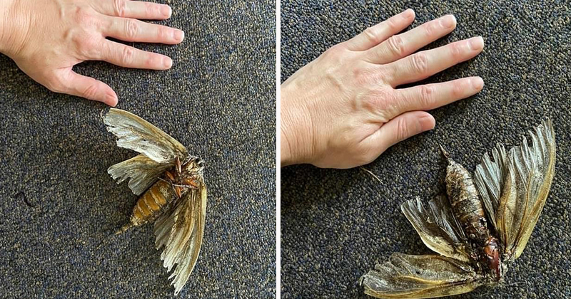 Palm sized Australian woman finds a huge insect in her home