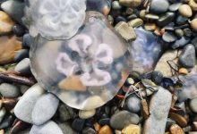 Frozen jellyfish found on the Anapa coast 1