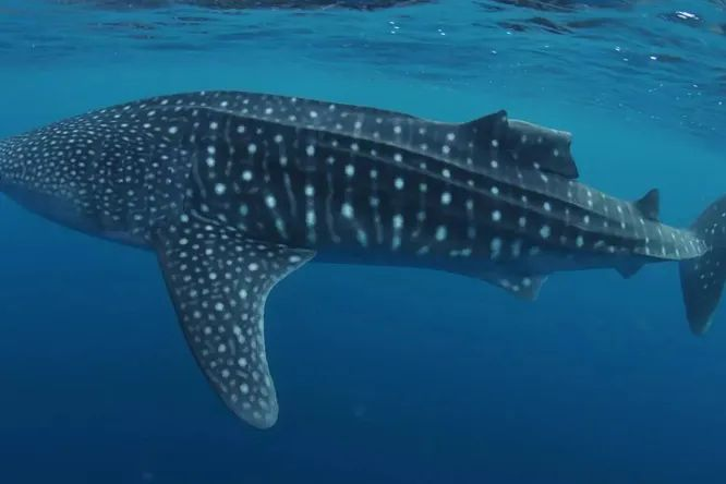 It turns out that whale sharks have impressive regeneration