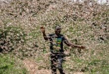 Locusts threaten Kenyas food security