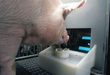Pigs were taught to play computer games