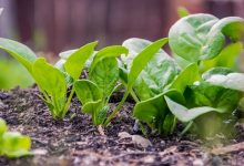 Researchers taught spinach to send emails
