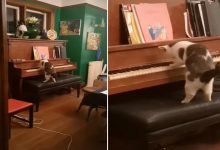 The owner was speechless when she saw her cat playing the piano