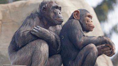 Unknown disease strikes chimpanzees in Sierra Leone