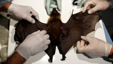 Wuhan laboratory receives patents for conducting experiments on bats