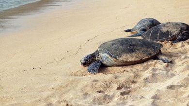 In Florida a mysterious disease weakens sea turtles