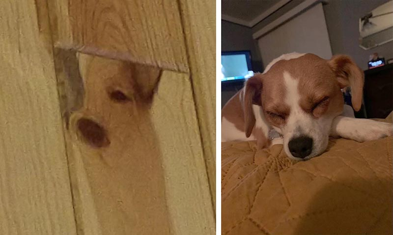 The owner of the dog noticed the perfect portrait of her pet on the wooden wall