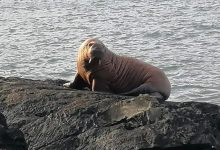 Walrus was first spotted off the coast of Ireland