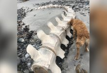 11 meter skeleton of a sperm whale found on a beach in Wales