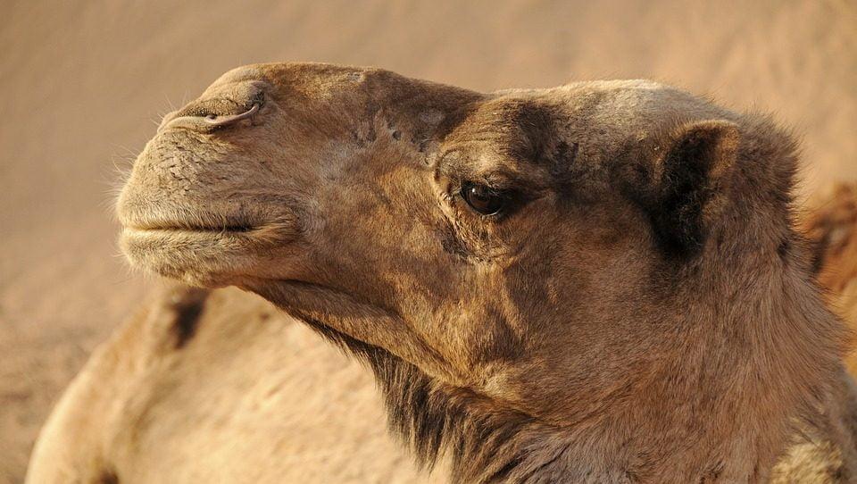 Camel coronavirus outbreak recorded in Saudi Arabia