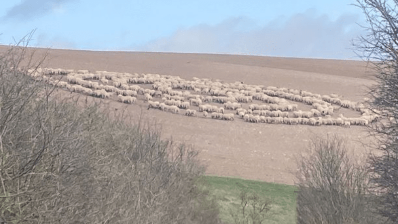 In England hundreds of sheep for no apparent reason walked in circles