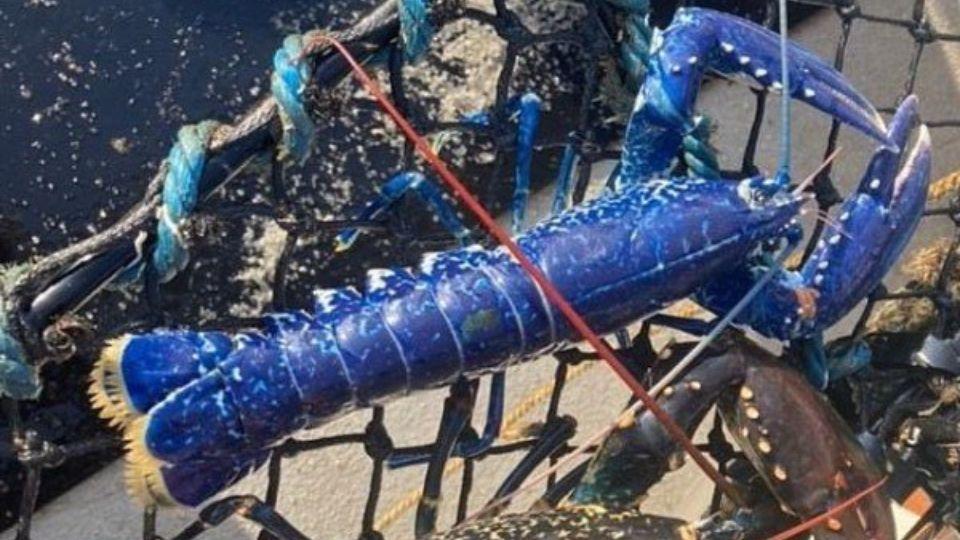 In UK fisherman caught rare blue lobster