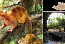 In the Philippines discovered the remains of ancient giant rats